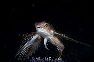 Flying gurnard - (Pesce civetta in italian). Night dive 3... by Vittorio Durante
